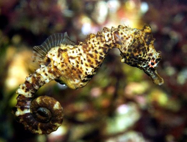 Animales marinos: características, tipos y lista - Caballito de mar común