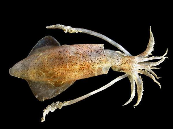 Animales marinos: características, tipos y lista - Calamar común o europeo