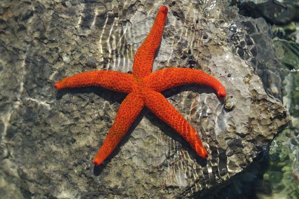 Animales marinos: características, tipos y lista - Estrella de mar común