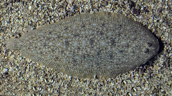 Animales marinos: características, tipos y lista - Lenguado común