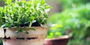 Plantar orégano: cuándo y cómo hacerlo