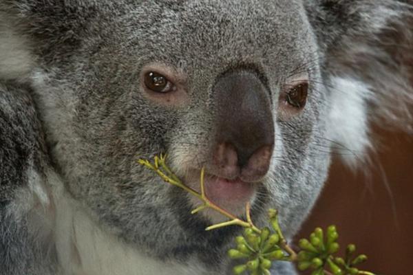 ¿El koala está en peligro de extinción? - Amenazas de los koalas