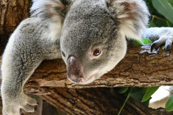 ¿El koala está en peligro de extinción? - ¿Los koalas están en peligro de extinción o no?
