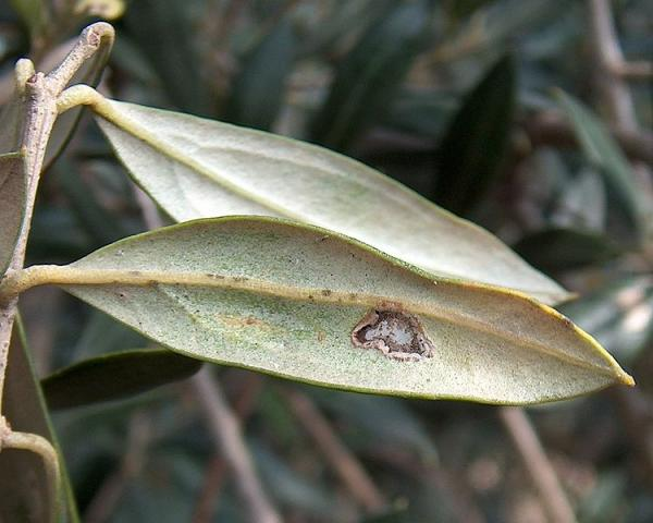 Las plagas del olivo y su tratamiento natural - Polilla o Prays del olivo (Prays oleae)