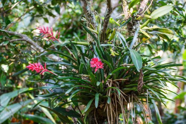 Plantas en peligro de extinción en Colombia - Bromelias ambigua o Billbergia ambigua