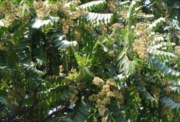 Plantas en peligro de extinción en Colombia - Cedro o Cedrela odorata