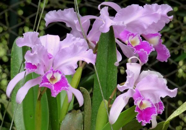 Plantas en peligro de extinción en Colombia - Flor de mayo o Cattleya trianae