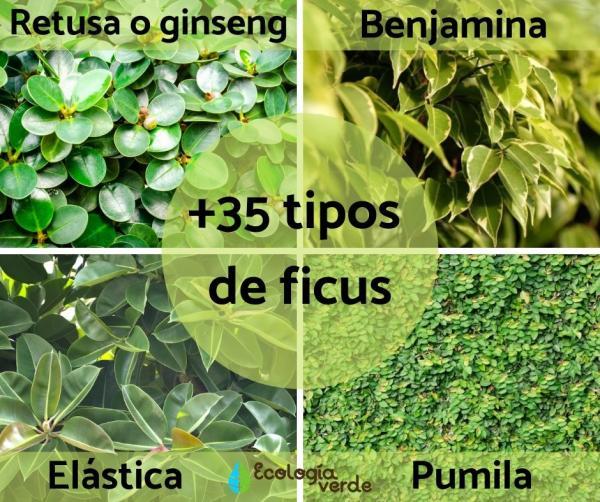 +35 tipos de ficus