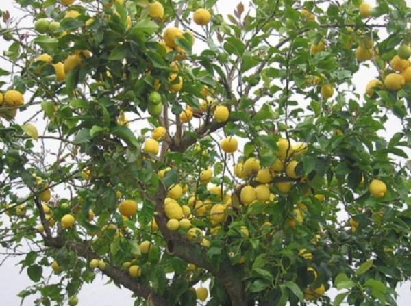 Cuidados del limonero - Características del limonero