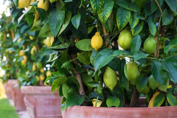 Cuidados del limonero - Clima para el limonero