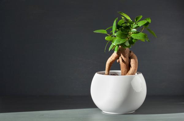 +35 tipos de ficus - Ficus retusa o ginseng