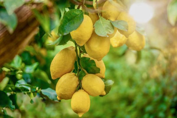 Cuidados del limonero - Suelo y abono para el limonero
