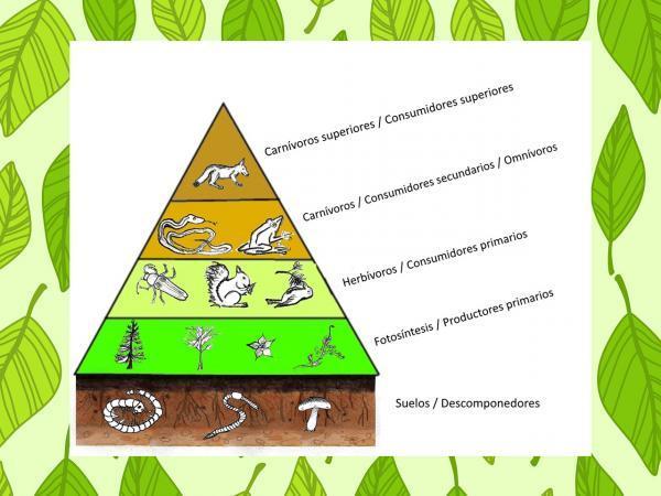 Qué son las redes tróficas y ejemplos - Qué es la pirámide trófica o ecológica