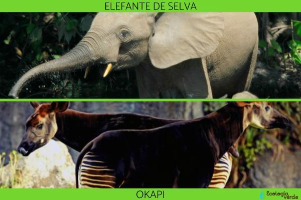 Selva del Congo: características, flora y fauna - Fauna de la Selva del Congo