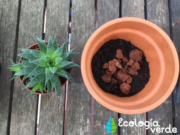 Sustrato para cactus y suculentas: cómo hacerlo - Tipo de sustrato que necesita una suculenta o un cactus