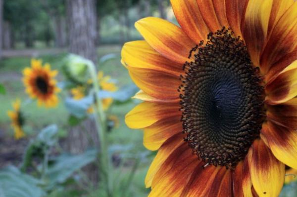 Tipos de girasoles - Music Box