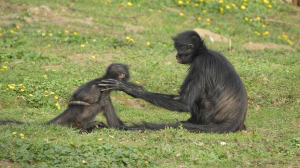 ¿El mono araña está en peligro de extinción? - Qué podemos hacer para evitar que se extinga el mono araña