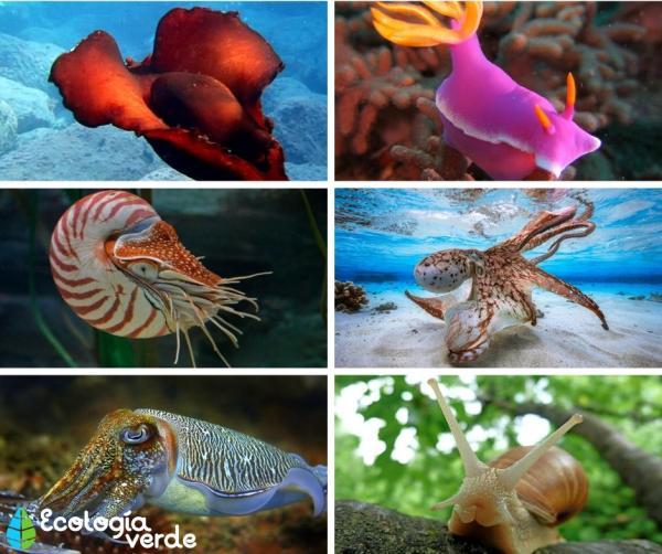 Moluscos: características, tipos y ejemplos - Ejemplos de moluscos