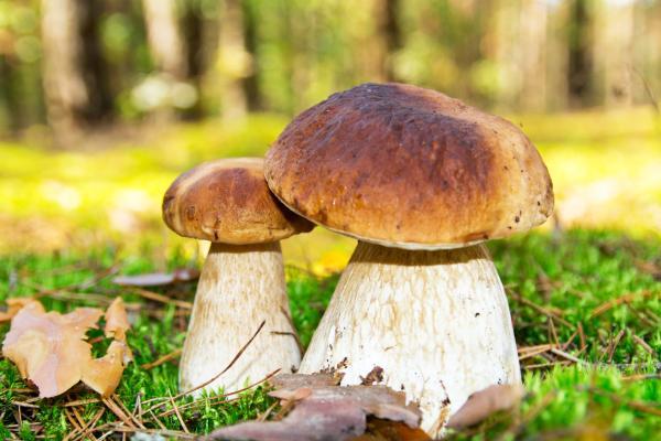 Cuáles son los hongos comestibles - Porcini