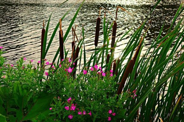 +50 plantas acuáticas: nombres y características - con imágenes - Qué es una planta palustre para estanques