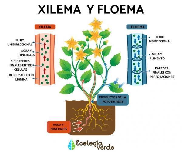 Qué es el floema y su función - Diferencia entre xilema y floema