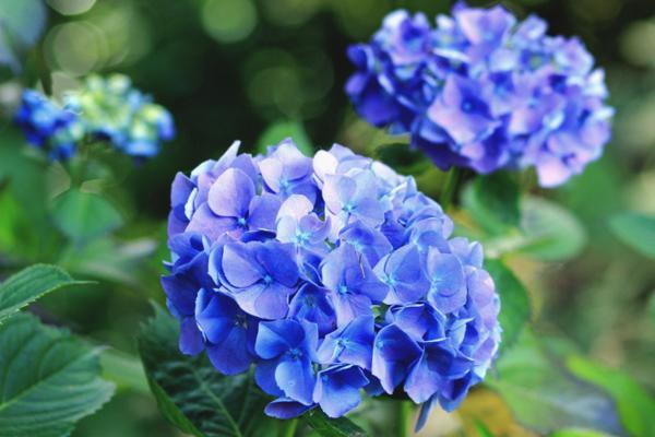 Hortensias azules: cuidados y cómo cultivarlas - Significado de las hortensias azules