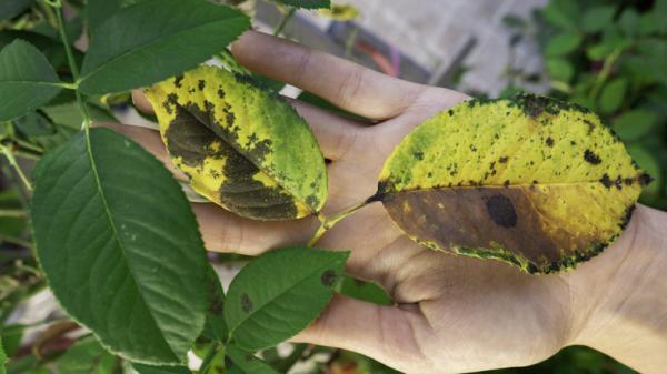 Por qué salen manchas negras en las hojas de las plantas - Cómo quitar las manchas negras de las hojas de las plantas