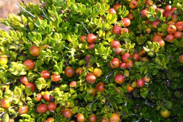 Plantas en peligro de extinción en Chile - Lucumillo (Myrcianthes coquimbensis)