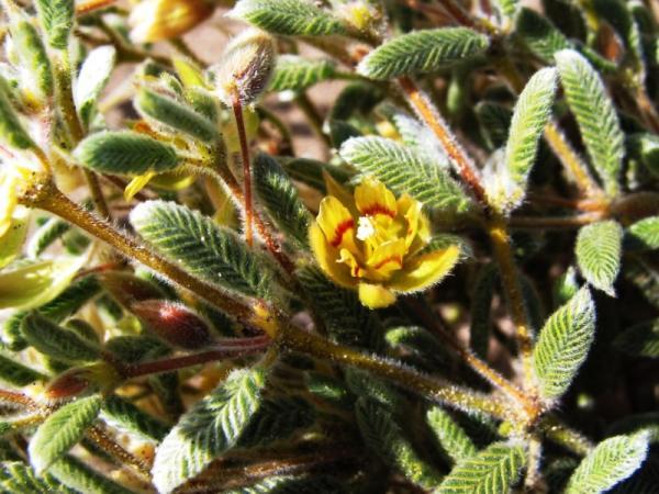 Plantas en peligro de extinción en Chile - Metarma lanosa (Metharme lanata)