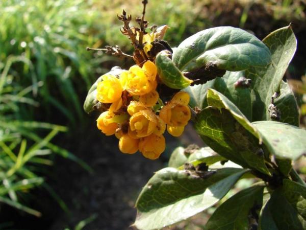 Plantas en peligro de extinción en Chile - Michay de paposo (Berberis litoralis)