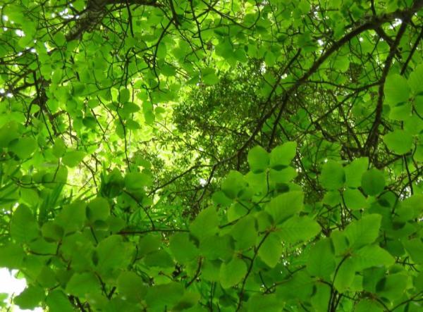 Plantas en peligro de extinción en Chile - Ruil (Nothofagus alessandrii)