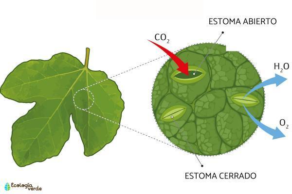 Cuándo respiran las plantas - ¿Por dónde respiran las plantas?