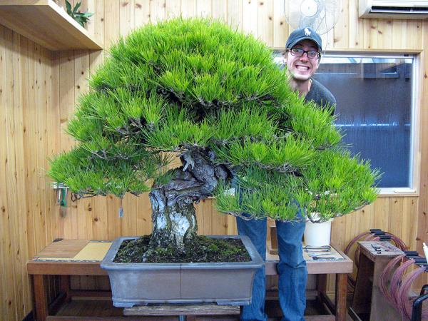 19 tipos de bonsái - Bonsái Hachi-Uye, el más grande