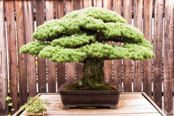 19 tipos de bonsái - Bonsái Komono