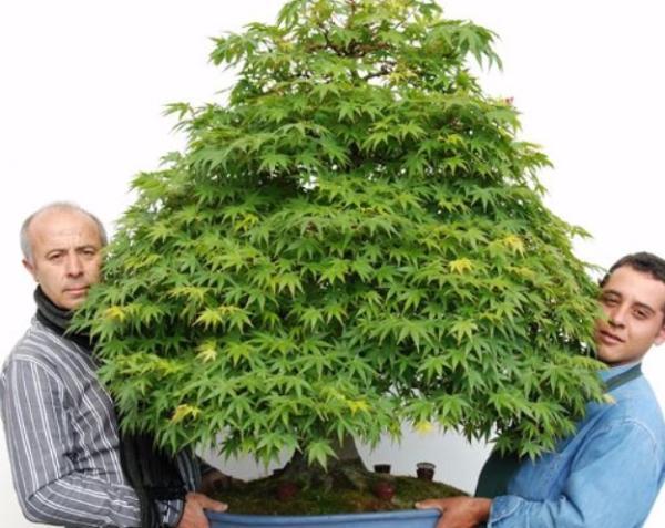 19 tipos de bonsái - Bonsái Omono
