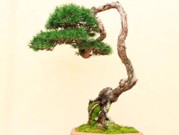 19 tipos de bonsái - Bunjin o bunjingi
