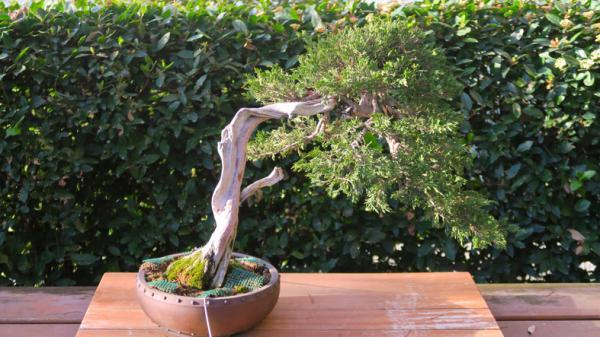 19 tipos de bonsái - Fukinagashi o estilo azotado por el viento