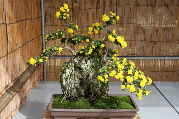 19 tipos de bonsái - Ishitsuki