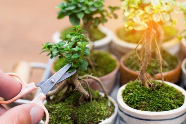 19 tipos de bonsái - Mame y Shito, los tipos de bonsáis más pequeños