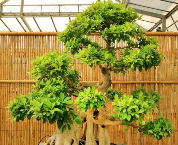 19 tipos de bonsái - Moyogui o Moyogi