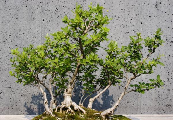 19 tipos de bonsái - Sokan o sankan