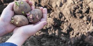 Cuándo sembrar patatas