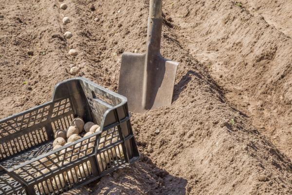 Cuándo sembrar patatas - ¿En qué fecha se siembra la papa? - los meses