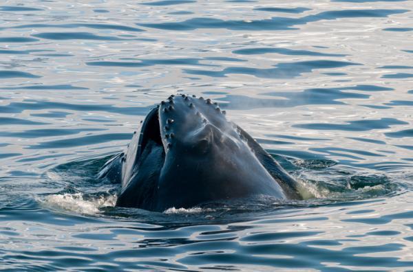 Por dónde y cómo respiran las ballenas - Por dónde respiran las ballenas