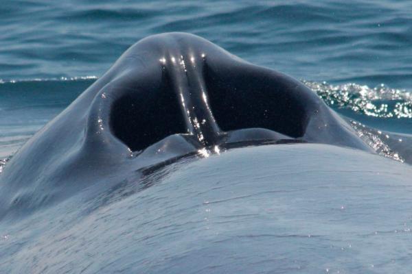 Por dónde y cómo respiran las ballenas
