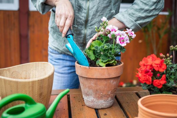 Cómo plantar geranios