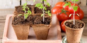Cómo plantar tomates
