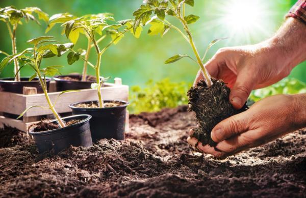 Plantar tomates: cómo y cuándo hacerlo - Cómo plantar tomates - paso a paso