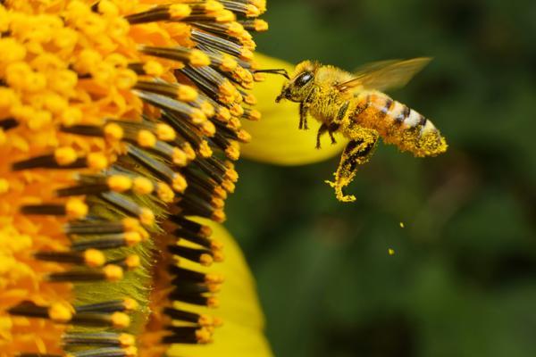 Características de las abejas
