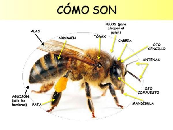 Características de las abejas - Características físicas de la abejas